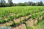 Wijngaarden tussen Lefkandi en Eretria | Evia Griekenland ) De Griekse Gids  - foto 007